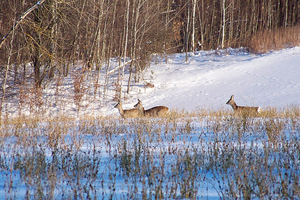 Новини Вінниці / На Вінниччині лісівники перерахували диких тварин: кількість лисиць значно перевищує норму